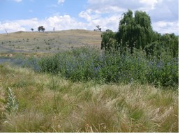 Serrated Tussock infestation as well as other weeds